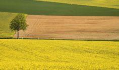 Mustard fields in Dijon, France