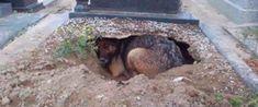 Fidelidade Eterna: cão cava um buraco ao lado do túmulo de seu dono para estar perto dele Youtube, Losing A Friend, Gaping Hole, Close Up, Dog, Animales, Take Care, Youtube Movies