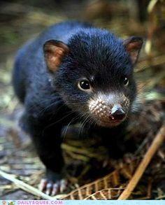 Baby Tasmanian Devil.