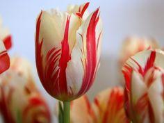 Tulipanes blancos y rojos