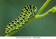 a black swallowtail larve on a celery stem Caterpillar, Celery, Plant Leaves, Royalty Free Stock Photos, Illustration, Pictures, Image, Black, Black People