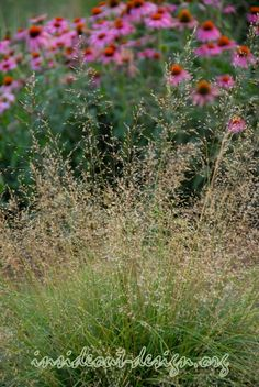 Prairie dropseed - a fine texture that fits well into any garden.