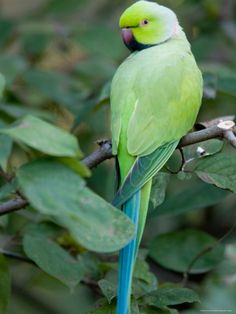Ring-Necked Parakeet at the Kansas City Zoo by Joel Sartore