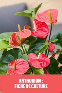 Tous les conseils pour prendre soin de son anthurium. Balcony Plants, Indoor Plants, Tropical Plants, Tropical Flowers, Plante Anthurium, Horticulture, Sankranthi Wishes, Decoration Plante, Flower Aesthetic
