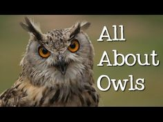 All About Owls: Backyard Bird Series - FreeSchool - YouTube. Really nice info for elementary.
