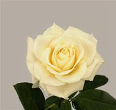 Rose Tineke ~ White Mayesh Wholesale Florists - Search our Flower Library