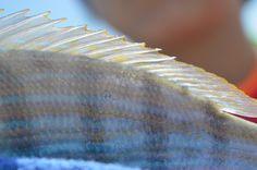 a fishy's fin ;P
