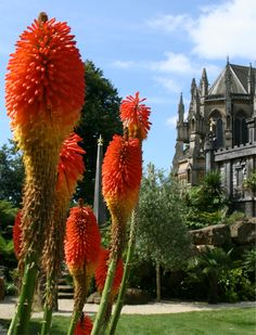 Red Hot Poker Lilies at Arundel Castle's Gardens - Summer 2013