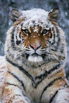 Tiger / Photo by Diego Cevallos Martinez