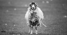 Suggestions for your pets - Funny animals All Dogs, Goats, Your Pet, Funny Animals, French Bulldog, Jorge Luis Borges, Funny Animal Humor, Woods, Sheep