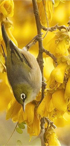 "Wax-eye (Tauhou) having ""an absolute ball"" in a massive cluster of food-rich Kowhai flowers, a New Zealand early springtime scene. Wanaka New Zealand, Queenstown New Zealand, Auckland New Zealand, Small Birds, Colorful Birds, Pet Birds, New Zealand Tours, New Zealand Art, Tui Bird"