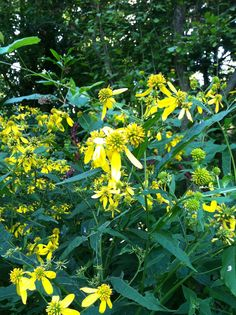 Verbesina alternifolia, or the wildflower Wingstem. Spotted in Ault Park.