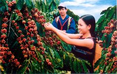 To get to where the story of Vietnamese coffee began, and to trace the nation's spectacular rise as a major world coffee exporter, a visit to Trung Nguyen Coffee Village is a must. Located in the highland city of Buon Ma Thuot in Dak Lak Province in the Central Highlands,...