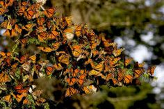 Butterflies, Sierra Chincua Sanctuary, Mexico.