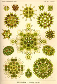 These bright bits of algae:   13 Times Ernst Haeckel Was The Greatest Scientific Illustrator Ever