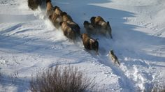 Arctic wolf chase after wood buffalo herd. David Attenborough Documentaries, Warner Bros Movies, Canadian Wildlife, Arctic Wolf, Movie Blog, Wolf Pictures, Nature Study, Wildlife Photography, Predator