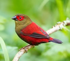 Red faced crimson-wing. The cockbird has a red eye patch and the hen has a buffy-yellow eye patch.The species can be seen in forests in East Africa.