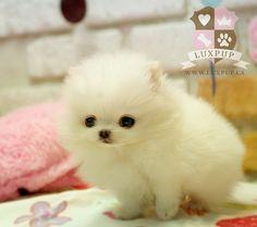 Teacup white Pomeranian love puppy
