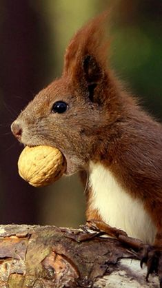 squirrels nuts