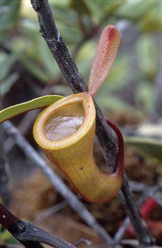 Nepenthes dubia - Sumatra