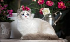 Ragdoll, Roses, Cat hd wallpaper by EliRogers Cat Wallpaper, Computer Wallpaper, Cat Run, Cat Sleeping, Roses, Animals, Color, Gatos, Animales