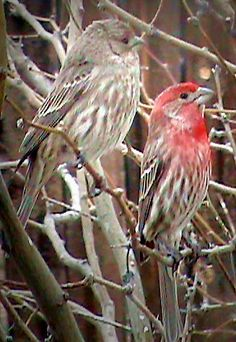 """House Finch  """"Haemorhous mexicanus"""": Female & Male 