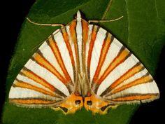 Geometer Moth, Pityeja histrionaria, Geometridae | Flickr - Photo Sharing!