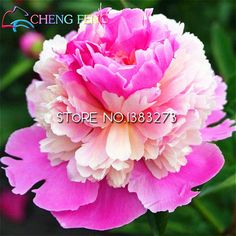 Chinese herbaceous peony seeds  potted seed  flower seed Very Easy plant variety complete the budding rate 95% #>=#>=#>=#>=#> Click on the pin to check out discount price, color, size, shipping, etc. Save and like it!