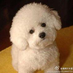Beautiful #bichon puppy!