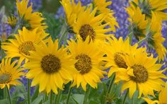 sunflowers and lavendar