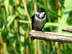 1.White-throated Swallow, Intaka Bird Sanctuary, Cape Town, SA, oct 1, 2016.IMG_31071