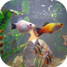 Platy Fish, Fish Tanks, Tropical Fish, Fishing, Animals, Beauty, Pisces, Animales, Animaux