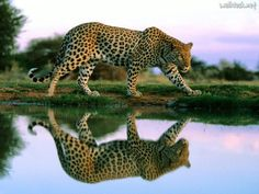 Spotted Reflections at the Watering Hole, Leopard, Africa