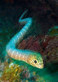 Olive Sea Snake-One bite said to be able to deliver enough venom to KILL twenty full-grown men.