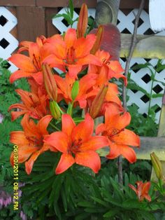 Lilies from my own garden. flowers-i-love