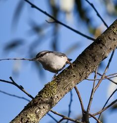 Nuthatch 1 Photograph by Leif Sohlman - Nuthatch 1 Fine Art Prints and Posters for Sale