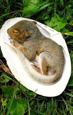 Baby squirrel takes a nap in a clam shell ❊