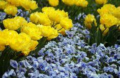 """Приятное сочетание цветов. Клумба мне понравилась и нафотала я её со всех сторон. И цветы поближе Анютки И тюльпан """"Exotic Sun""""...Лимонно-жёлтый махровый с…"""