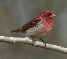 Purple Finch - momma and poppa are back, building a nest!
