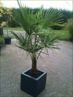 De Trachycarpus fortunei de Chinese windmolenpalm of Henneppalm genoemd. Deze palmboom is goed winterhard