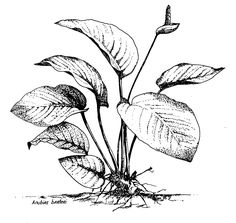 Some Tips for Drawing a Calquarium Cover Fountain Pen Drawing, Bush Plant, Nature Sketch, Plant Drawing, Different Plants, Plant Illustration, Realistic Drawings, Flowering Trees, Flower Art