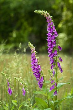 Towering Purple Foxglove -