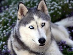 Husky Siberiano: Geralmente ladra pouco, mas o seu aspecto de lobo pode torná-lo um pouco agressivo para com pessoas estranhas. Trata-se de uma raça de cães aptas para serem mascotes, é afectuoso e carinhoso com as crianças, apesar de ser um pouco difícil de ensinar, pelo que muitas das vezes é necessário ter alguém experiente. Dar-lhe banho pode tornar-se numa tarefa difícil e quase desnecessário pois por natureza, a sua pelagem rejeita a sujidade.