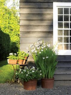 Potted bulbs incl. Gladiolus callianthus 'Murielae' - Deborah Needleman's Garden