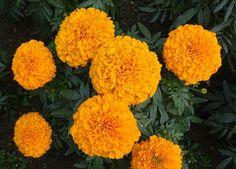 10 Flores imprescindibles en nuestro Huerto o Jardin fundamentales que nos ayudan a combatir plagas y atraer insectos beneficiosos y aumentar la produccion