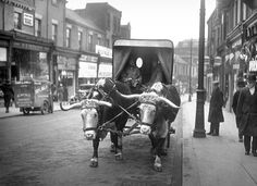 Oxen drawing Atora Beef Suet van through Sunderland in 1935: Sarah Stoner