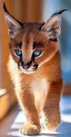 How cute! A baby Caracal!