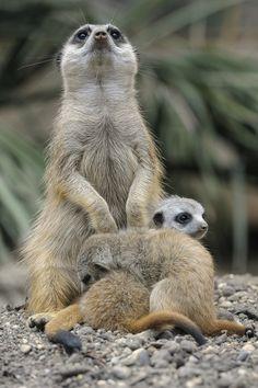 Meerkats by Josef Gelernter, via 500px