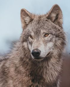 Wolves, Husky, Dogs, Animals, Animales, Animaux, Wolf, Pet Dogs, Doggies