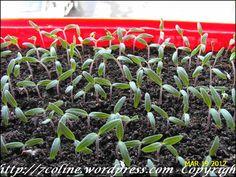 rasaduri de rosii 6 Garden, Agriculture, Plant, Garten, Lawn And Garden, Gardens, Gardening, Outdoor, Yard